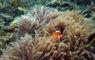 Fun dive anemone fish
